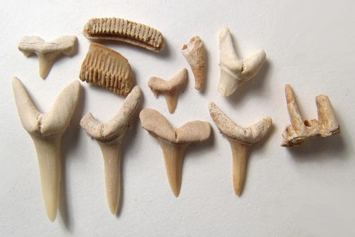Fossil Shark and Ray Teeth From Morocco Item, c. 50 Million Years Old, Real Relic