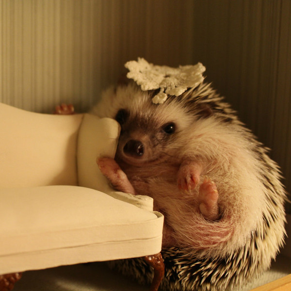 Hi my name is Ginny. I come from a loving home but not all hedgies are so lucky.