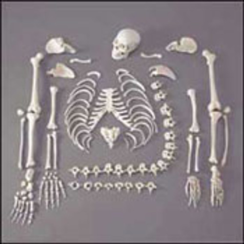 ONE-HALF DISARTICULATED BUDGET SKELETON WITH SKULL
