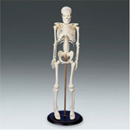 "My First Skeleton Size: 16 1/2"" tall."
