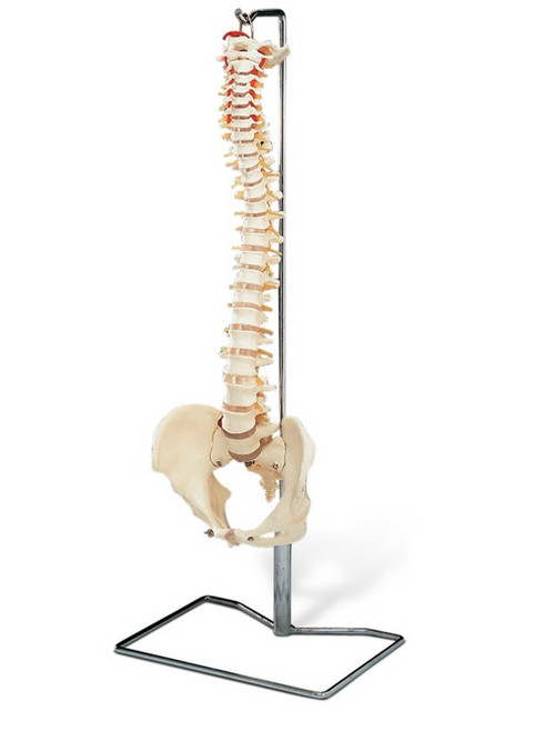 Male Spine with Stand