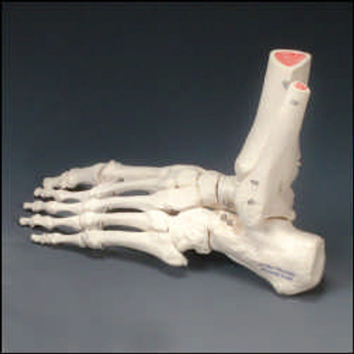 Foot Model-Rigid Skeletal Foot Model -Right Handed