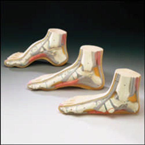 Foot Model-Budget Foot Model Set of 3