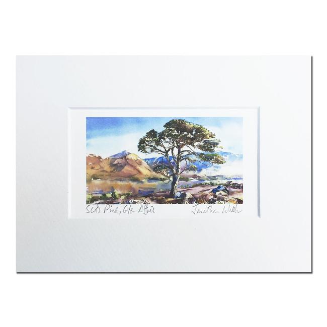 Scots Pine, Glen Affric