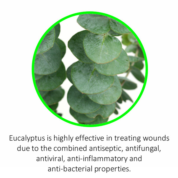 Eucalyptus is highly effective in treating wounds due to the combined antiseptic, antifungal, antiviral, anti-inflammatory and anti-bacterial properties.