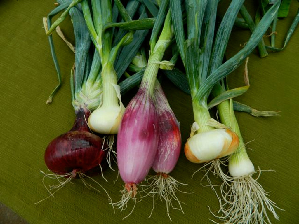 Onion Lunga di Firenze (42-23)