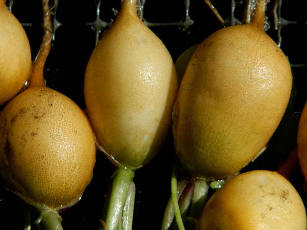 This is the actual color of the Zlata radishes.