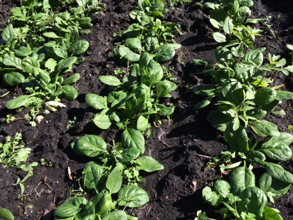 Matador spinach, growing in our Kansas garden on Nov. 10.