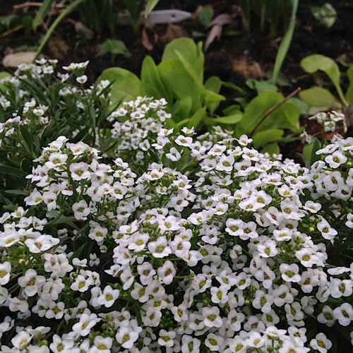Sweet Alyssum can be planted among the vegetables in the garden. It attracts beneficial insects that protect veggies from pests.
