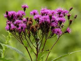 Image result for tall ironweed