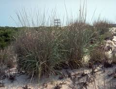 Image result for wiry panic grass