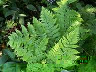 Image result for brake fern in landscaping