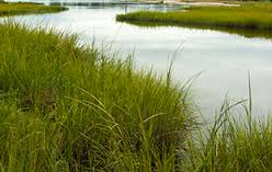 Image result for smooth cordgrass