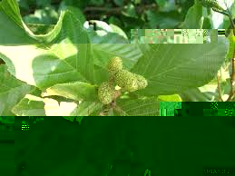 Image result for hazel alder