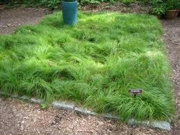 Image result for texas sedge
