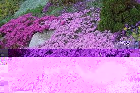 Image result for creeping phlox