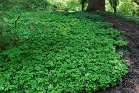 Image result for pachysandra