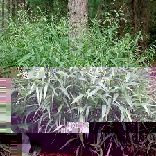 Image result for river oats grass