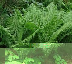Image result for ostrich fern