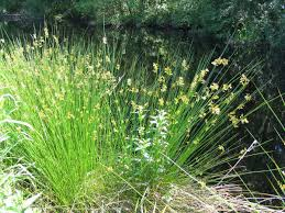 Image result for soft rush grass