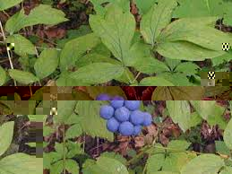 Image result for blue cohosh