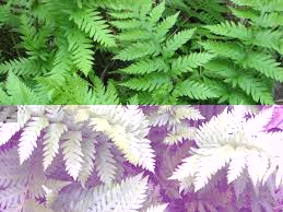 Image result for chain ferns
