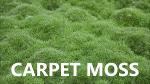 Image result for carpet moss