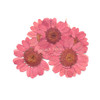 Pink Daisy Pressed Real Dried Flowers (6 pieces)