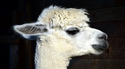 10 Interesting Facts About Alpaca