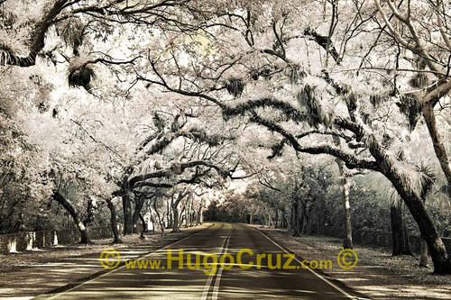 """Douglas Canopy"" ● Infrared Photography"
