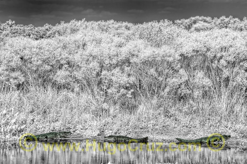 """""""The Three Amigos"""" ● Infrared Photography"""