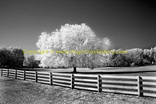 """Hail the Haile Oak"" ● Infrared Photography"