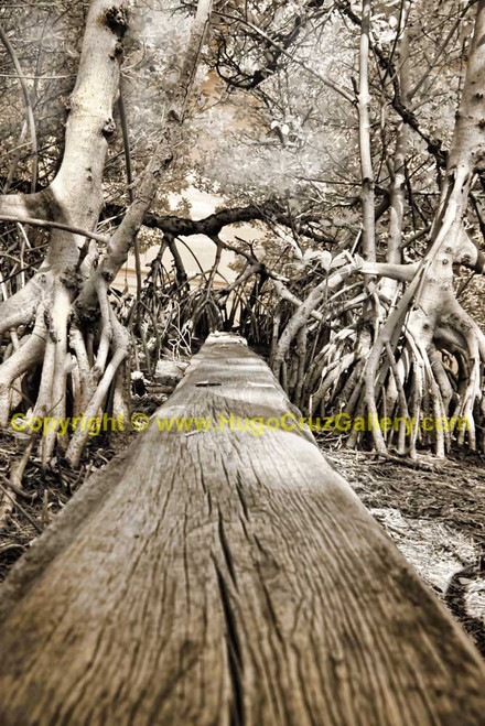 """Mangrove Avenue"" ● Infrared Photography"