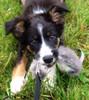 "Border Collie puppy Keys with Bandit Tug. ""Awesome tug,"" Karen C. , Sarnia, ON"