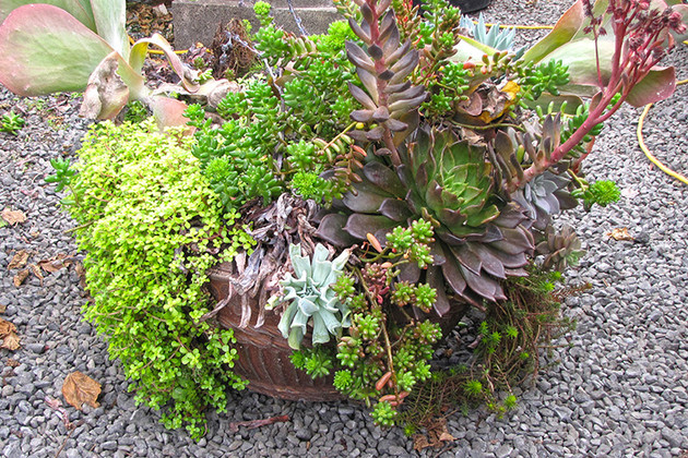How to Rejuvinate Succulent Container Gardens