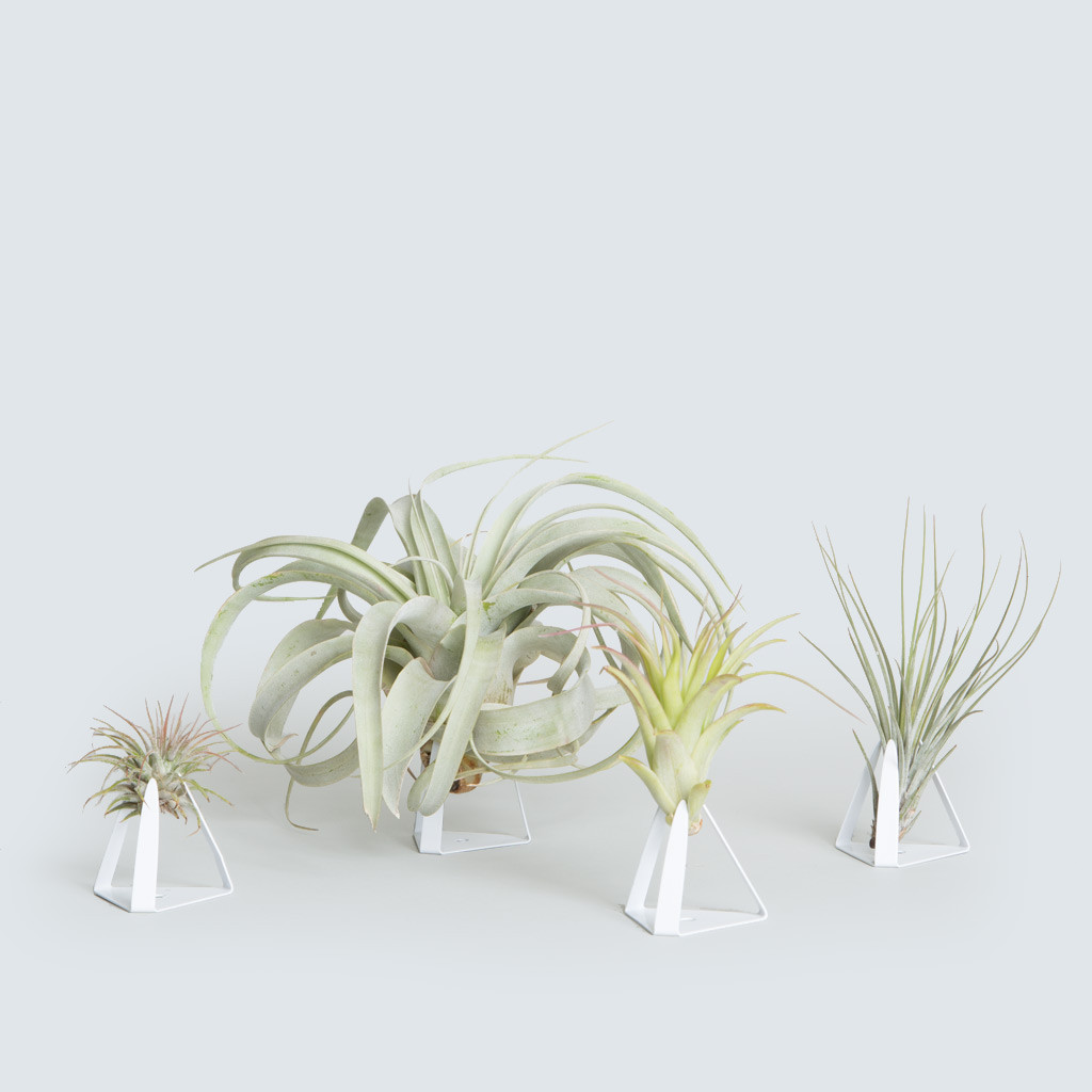 The Tillandz, Xerographica + Three Air Plants