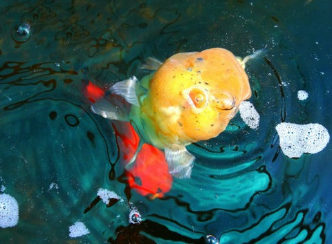 The most popular questions about goldfish ANSWERED