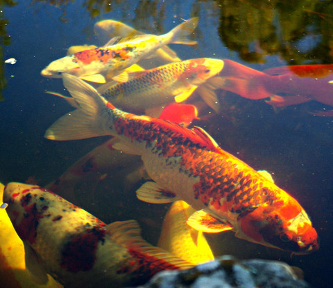 Welcome to windsor fish hatchery online sales of japanese for Koi fish hatchery
