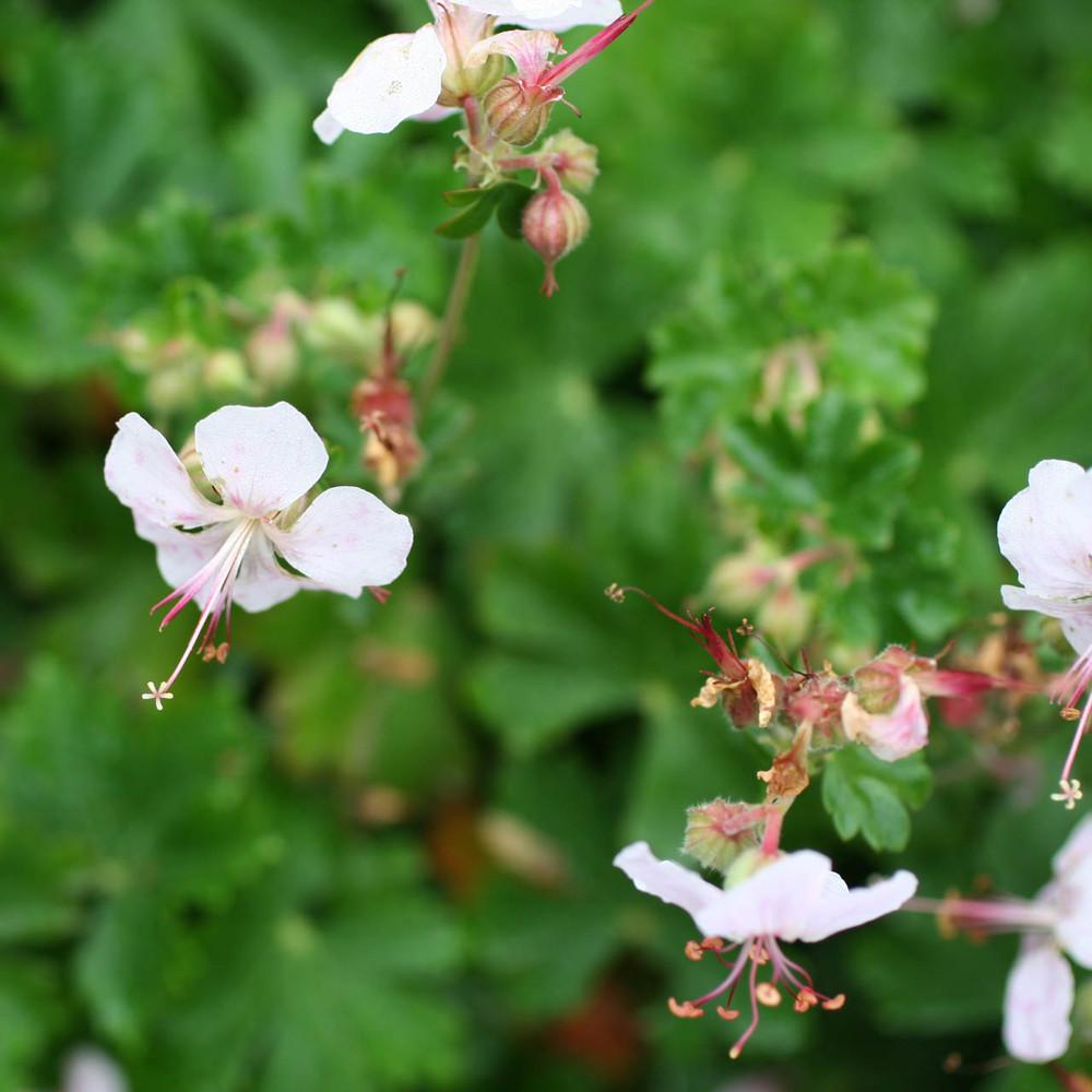 Geranium x cantabrigiense 'Biokovo'