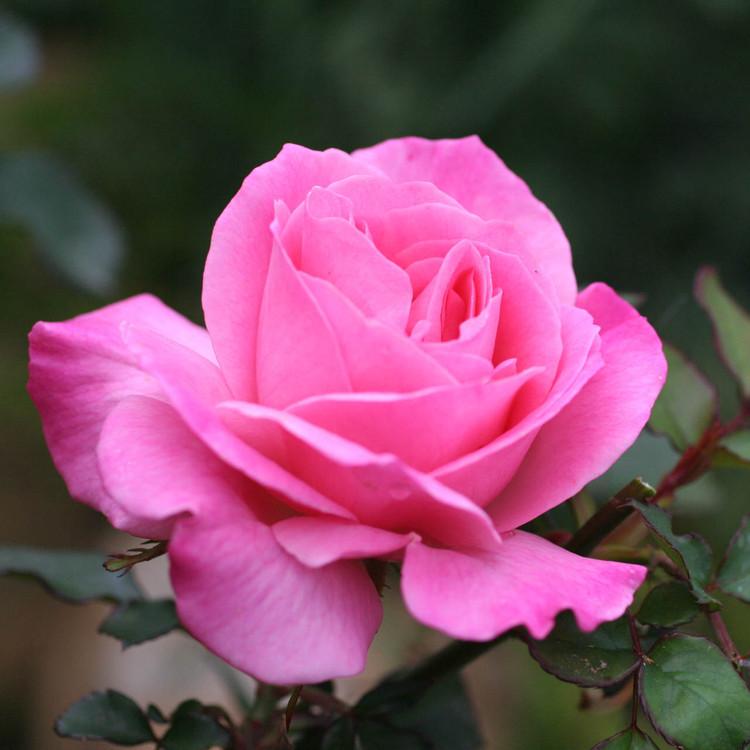 rose pink med