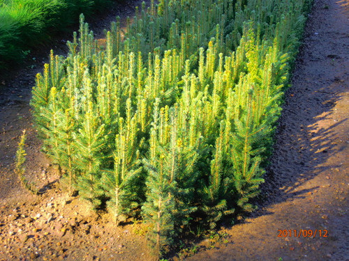 White Spruce A+2, over 500 Trees