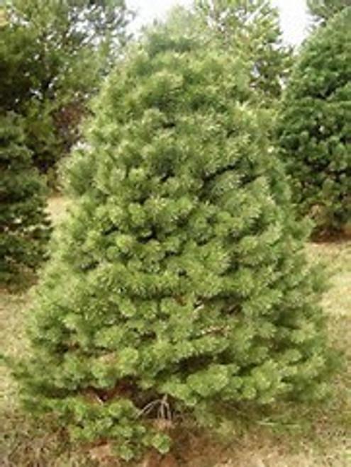 Scotch Pine - Belgium A+2, 50 Trees