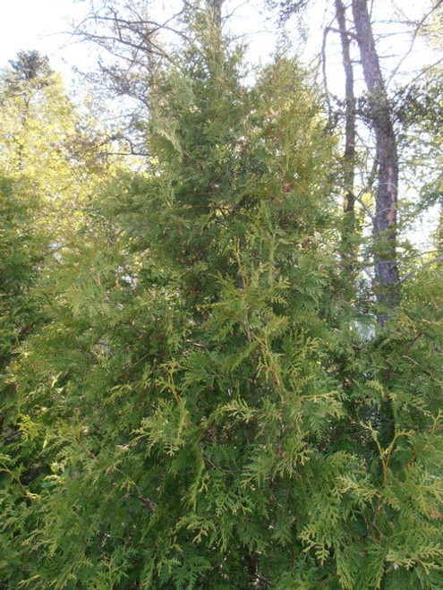 Northern White Cedar Affinity A+3, 25 Trees