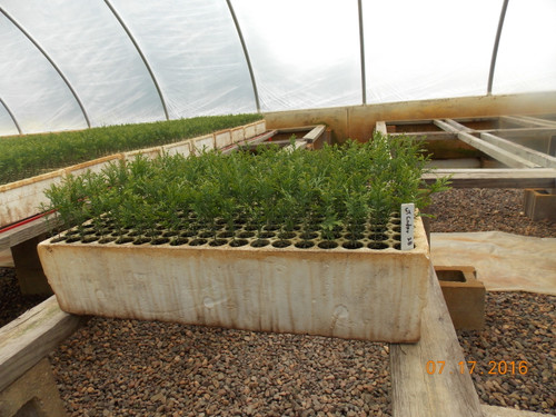 Northern White Cedar Affinity Containerized Seedlings