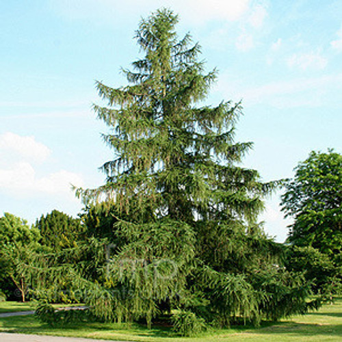 Norway Spruce A+2, 500 Trees