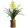 "Cymbidium Orchid in Basket 29"""