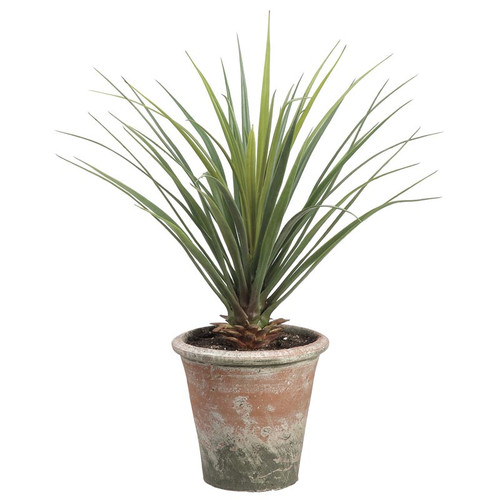 """Yucca Plant in Clay Pot 26.5"""""""