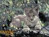 Charles Frace 'Hideaway' Lynx Cub 9x12 Art Print O/E