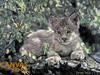 Charles Frace 'Hideaway' Lynx Cub Canvas Art 9x12 O/E