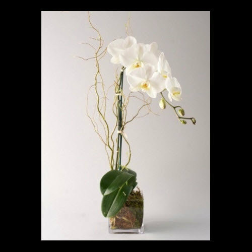 DELUXE PHALAENOPSIS ORCHID